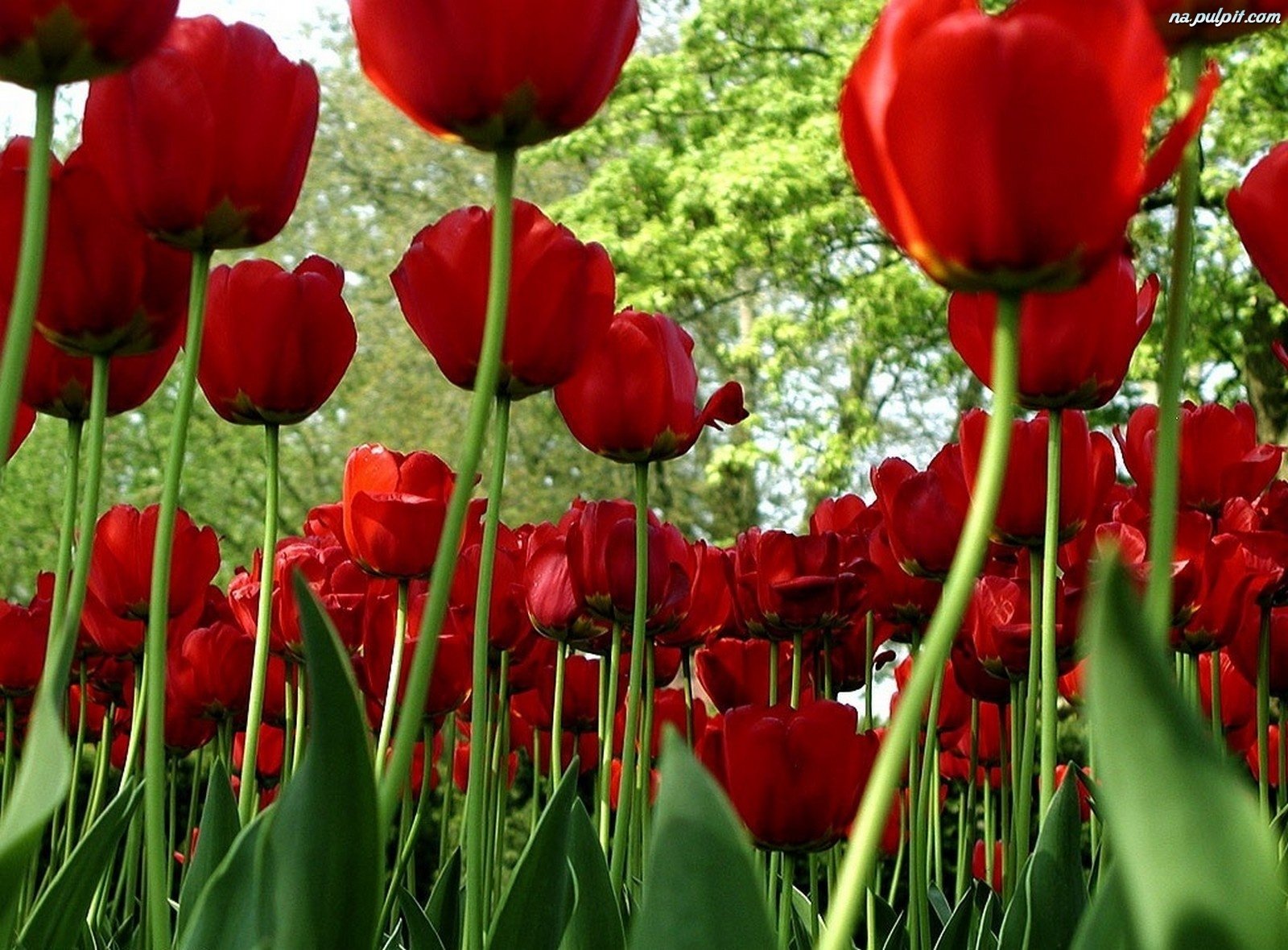 ... -czerwone-tulipany-1.na-pulpit.com/zdjecia/czerwone-tulipany-1.jpeg
